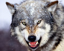 Bared_teeth,_grey_wolf-1
