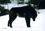 Schwarzer-wolf