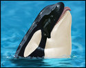 Orca24b