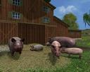 Grunzende-schweine