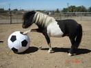 A+mini+horse+2