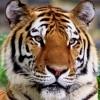 20090111_1016575127_tiger